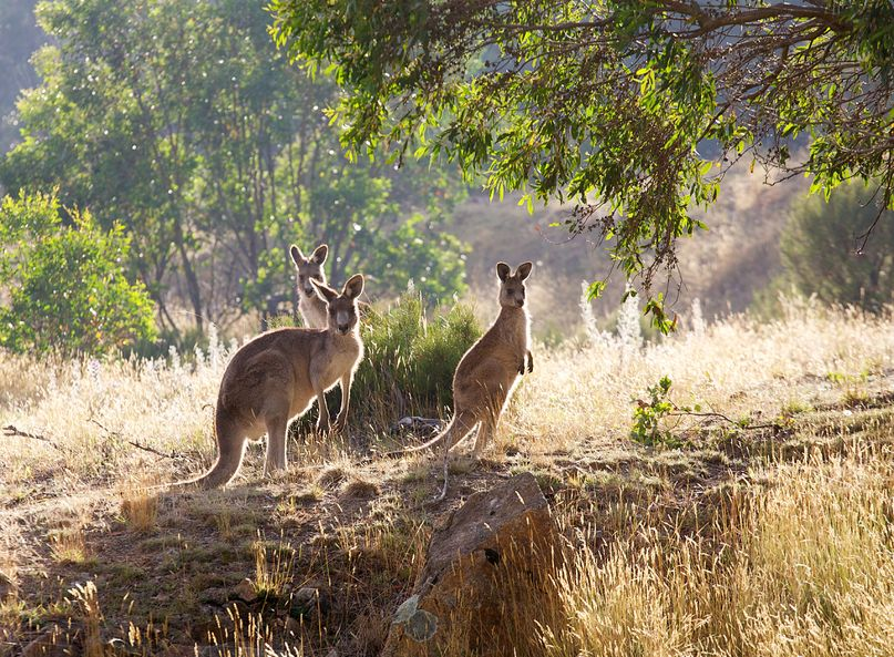 Putting Kangaroo on the Menu