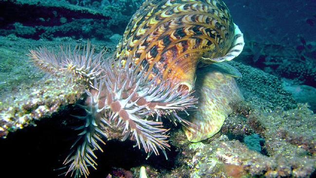 Giant sea snails to rescue Great Barrier Reef