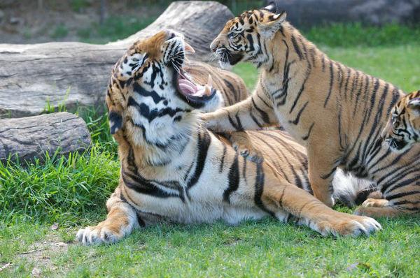 Dreamworld Tiger Handlers Under Fire