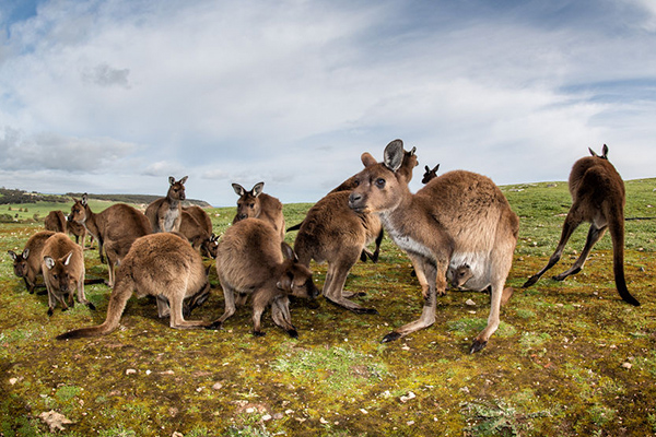 Millions of kangaroos dying from mysterious illness