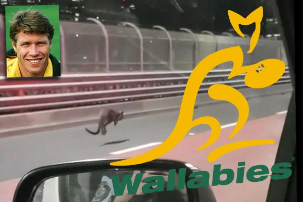 Former Wallabies captain helped capture runaway wallaby