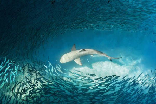 Article image for Fish farm breach causes disastrous shark frenzy