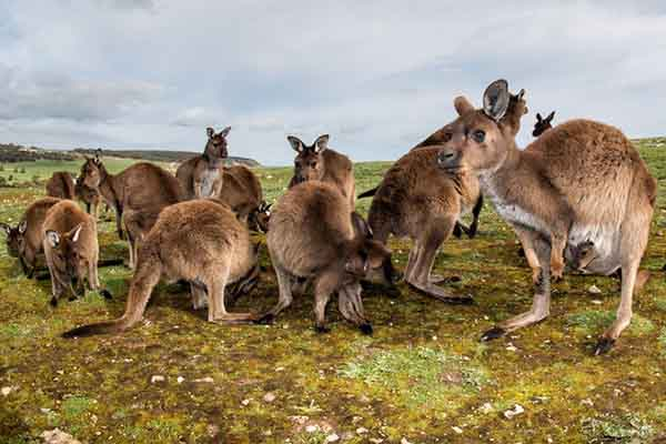 Article image for Video shows Greens are lying about kangaroo extinction