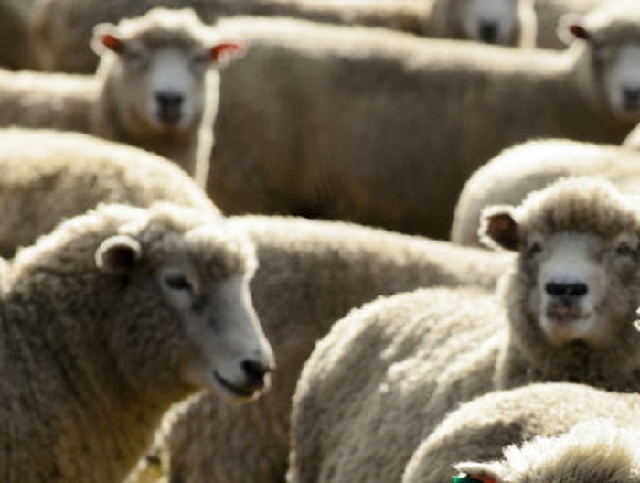 'I'll never rule out crossing the floor': Sussan Ley stands firm on live sheep exports