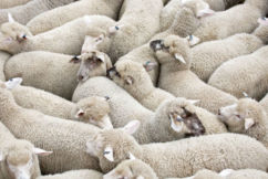 Labor to ban live exports if it wins government