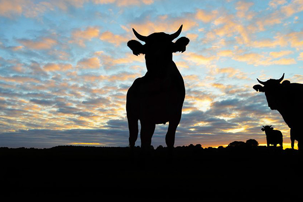 Banking royal commission hears farmers forced to shoot cattle