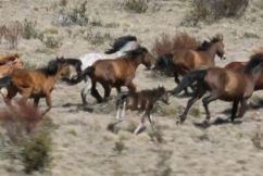 Controversy over brumby cull