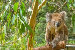 Encouraging signs for Brisbane's koalas