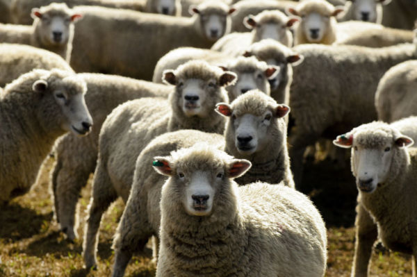 Article image for 'The live sheep trade will be phased out': Shadow Agriculture Minister lays out live export agenda