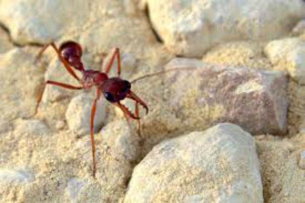 Researchers put the bite on Brisbane bull ants