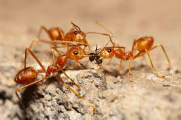 Red fire ants on the march in Logan