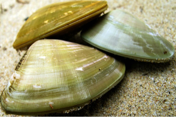 Calls for a Bribie ban on shellfish collecting