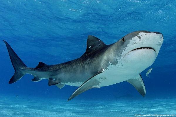 Calls for inquiry into Qld shark control program
