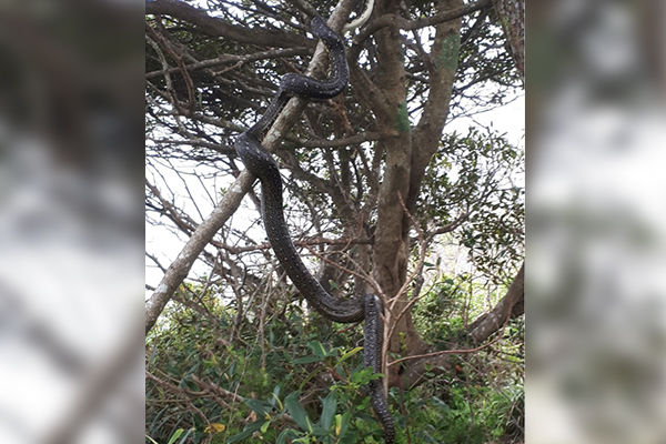 Article image for This stuff of nightmares: HUGE snake spotted on busy Sydney beach