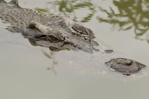 Article image for Crocodile warning following Cyclone Owen