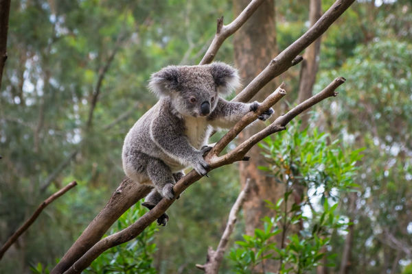 Carina residents fight to save koala habitat