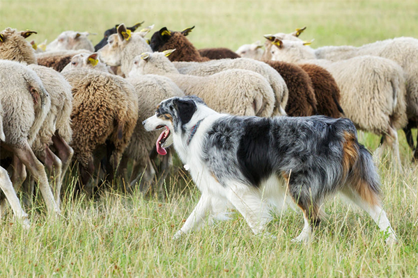 Article image for Why sheep dogs are making a comeback across Queensland farms