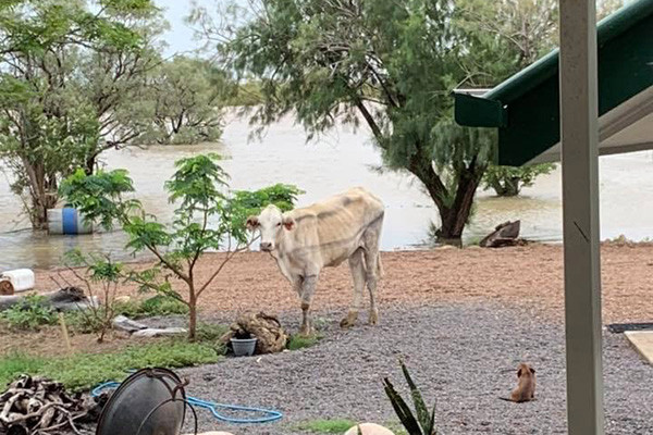 Buy A Cow for flood ravaged Qld graziers