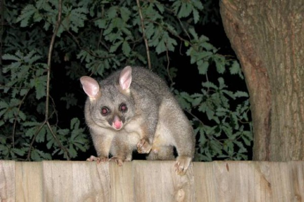 RSPCA worried about spate of possum attacks