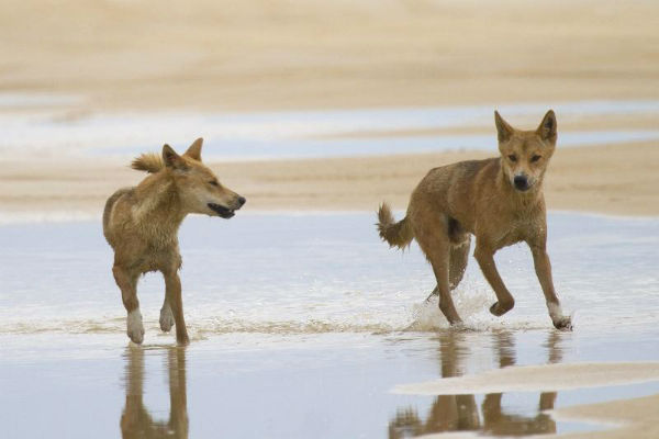 The starving Fraser Island dingo myth