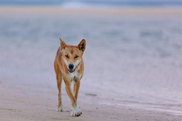 Toddler dragged away by dingo at Fraser Island