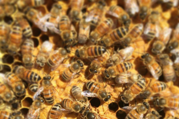 Helping bees is helping ourselves