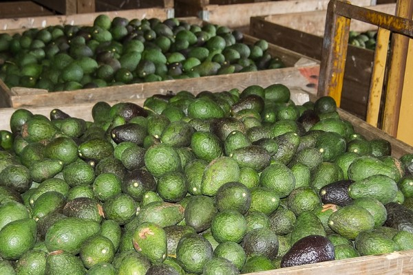 Increased avocado demand bares fruit