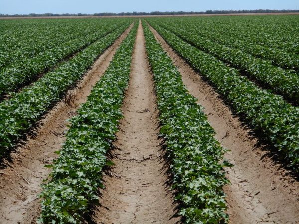 Cotton growers selling water entitlements