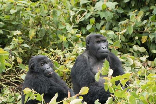 How to enjoy the gorillas in our midst