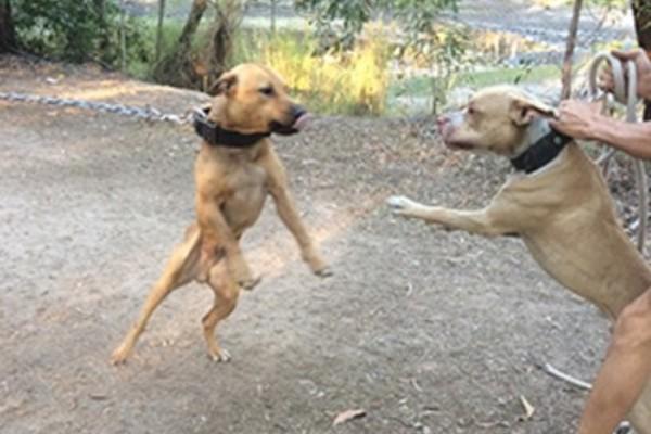 Underground dog fighting rings in Queensland