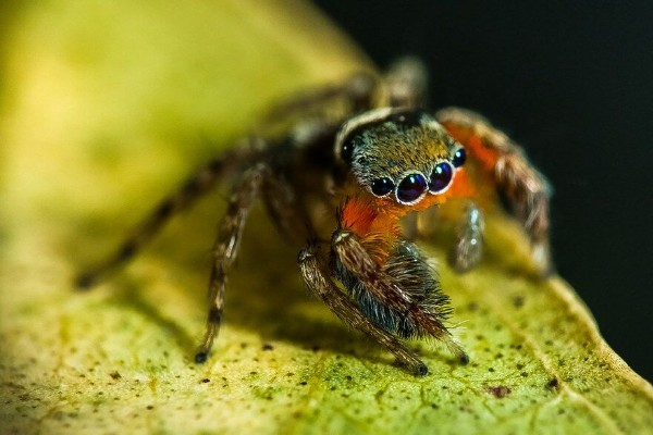 Jumping Spiders are nice little movers