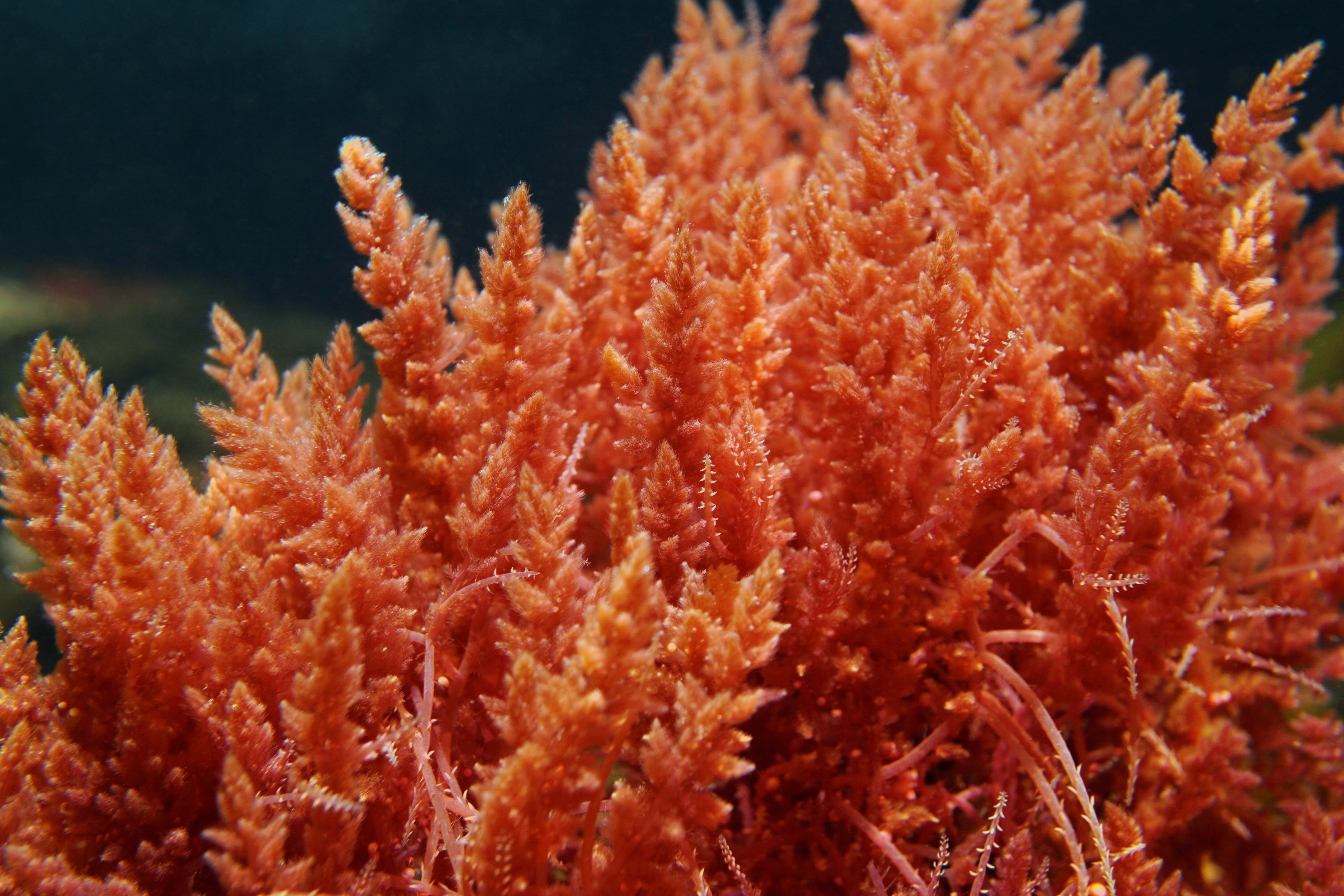 Seaweed the key to reducing cattle greenhouse gases