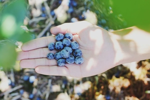 Queensland blueberry farmers back in the pink