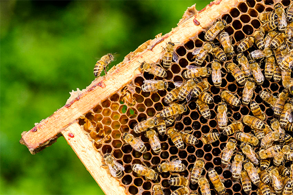 The sting of drought: Honey and almond production drying up