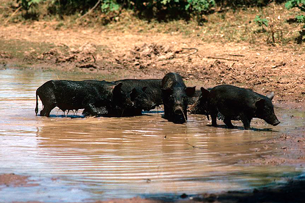 Calls for feral pig bounty as fears of African swine fever grips industry