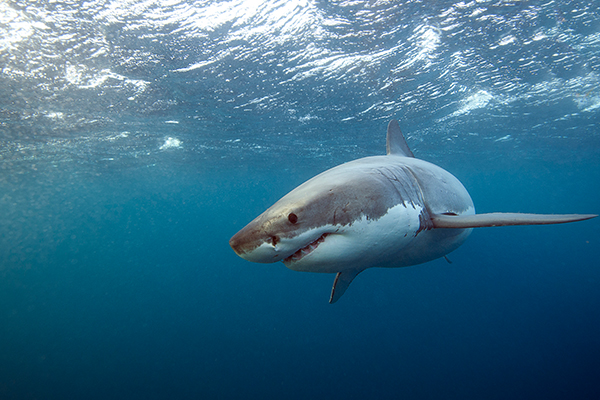 Drones to star in Shark Management Strategy
