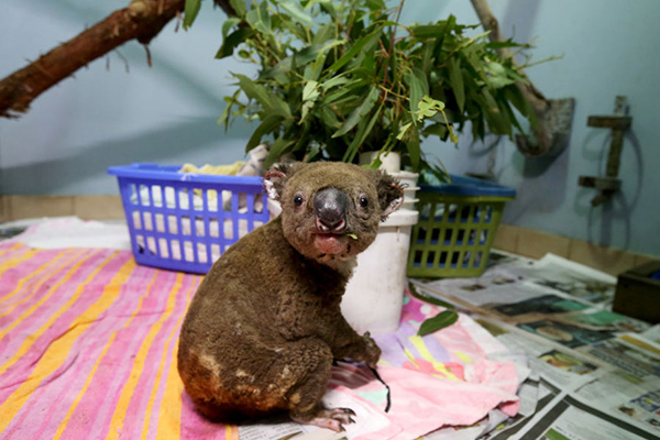 Article image for 'They'll get through this': Koala's perishing in unprecedented bushfires