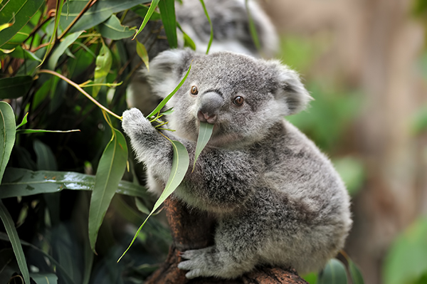 Article image for How a controversial approach saved koalas in the Black Summer bush fires