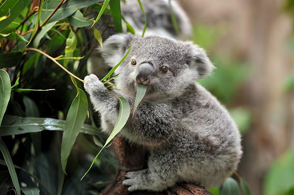 Article image for Calls to declare koalas endangered as species races toward extinction