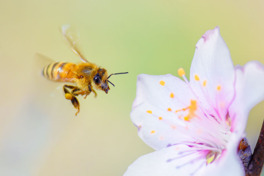 Enough bees for almond pollination but costs rising