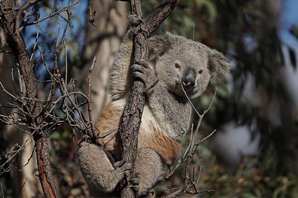 Koala breakthrough following bushfire devastation