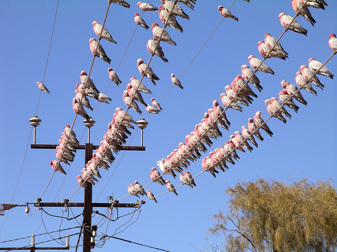 Outback town's unconventional solution to a bird-brained problem