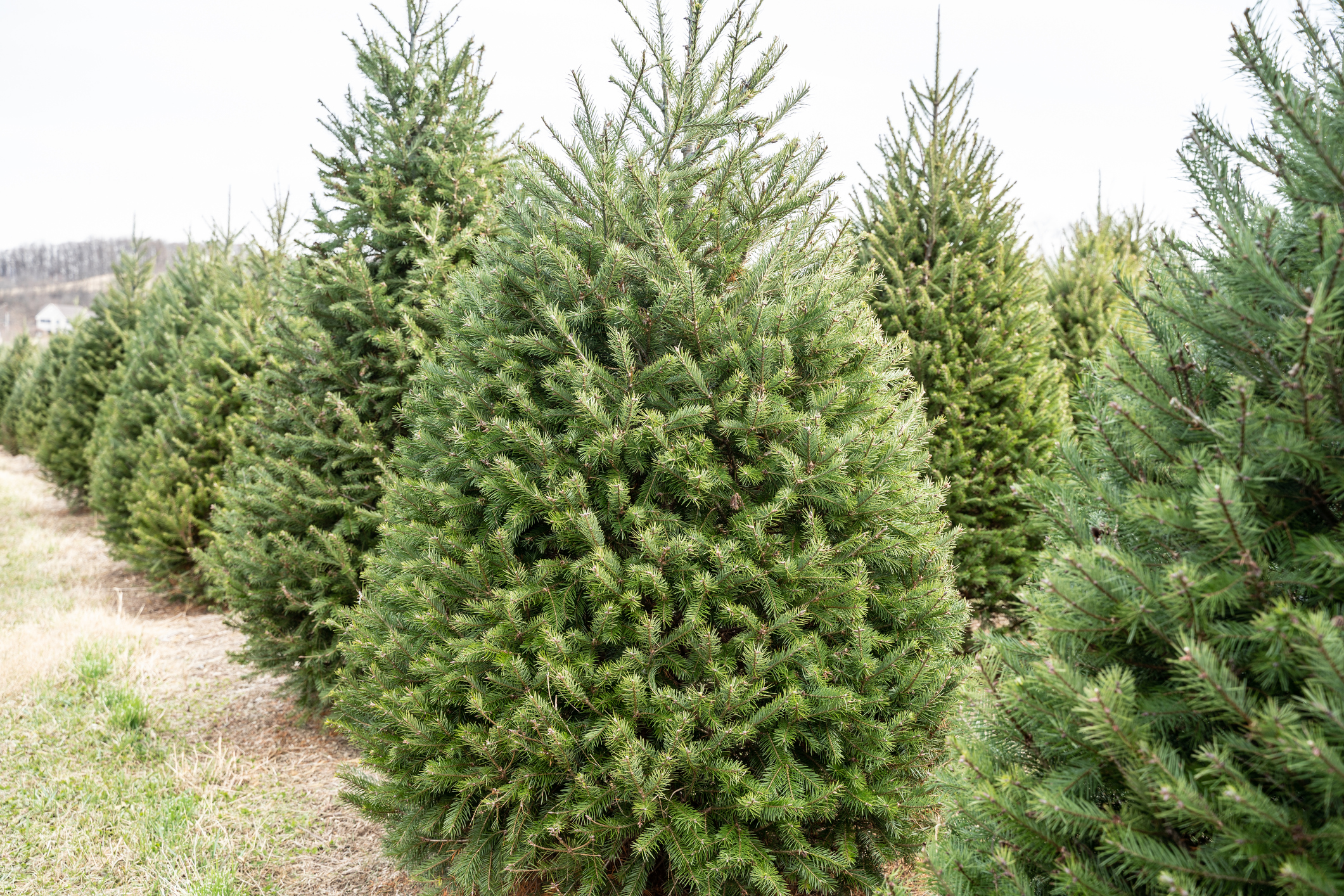 Article image for Real Christmas trees in hot demand for Queenslanders