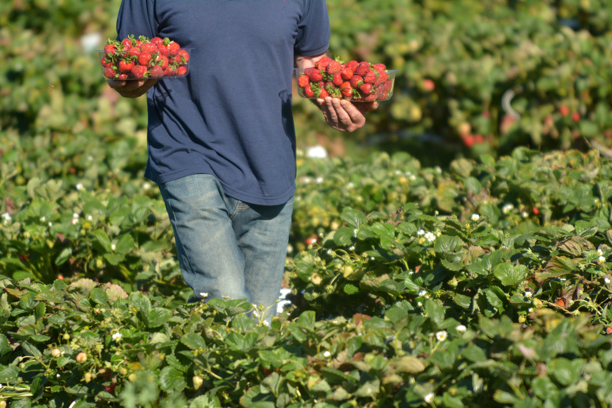 Article image for Slim pickings: fruit and veg growers in labour shortage 'crisis'