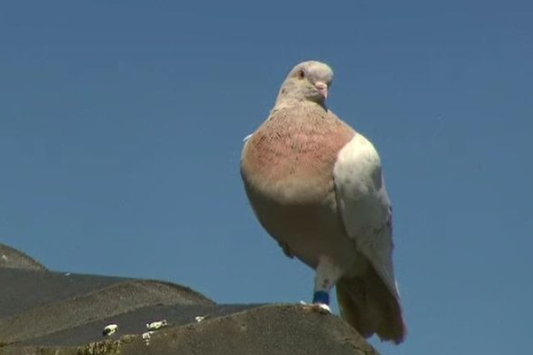 Immigrant pigeon's background debunked by expert