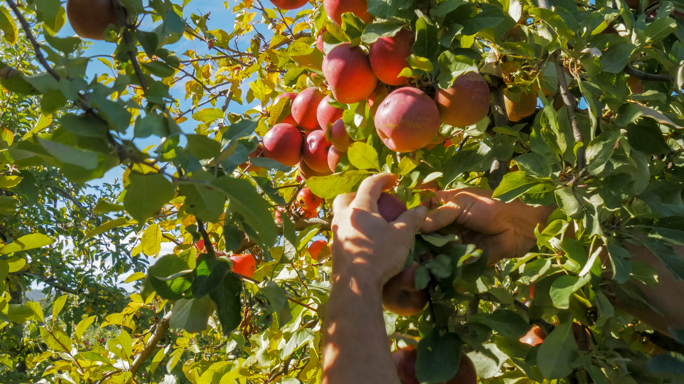 The 'underwhelming' take-up of the fruit-picking scheme