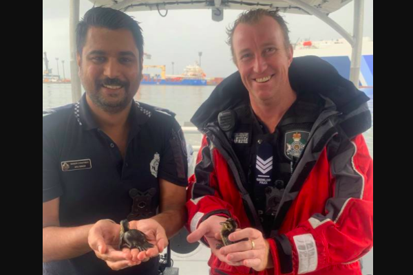 Article image for Water Police reunite lost feathery trio with mummy duck