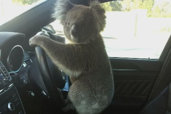 Koala stops traffic, gets behind the wheel
