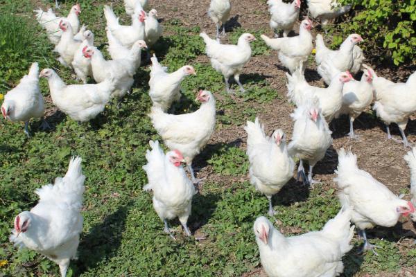 The world's best chicken hitting Australian restaurants