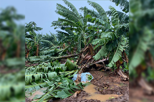 Article image for 'That's a lot of bananas': Lost crops count in millions after cyclonic winds